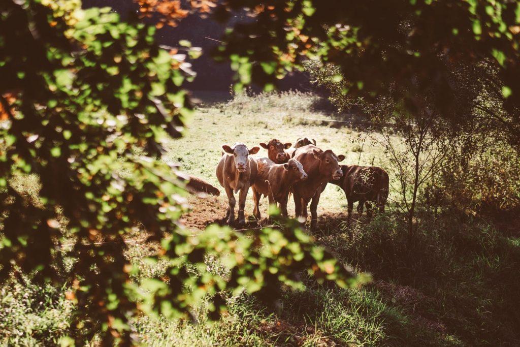 Rinder - regionales Rindfleisch vom Gut Boltenhof